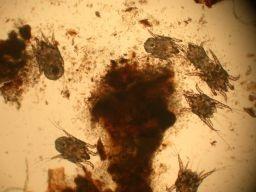 Cat ear mites otodectes cynotis.jpg