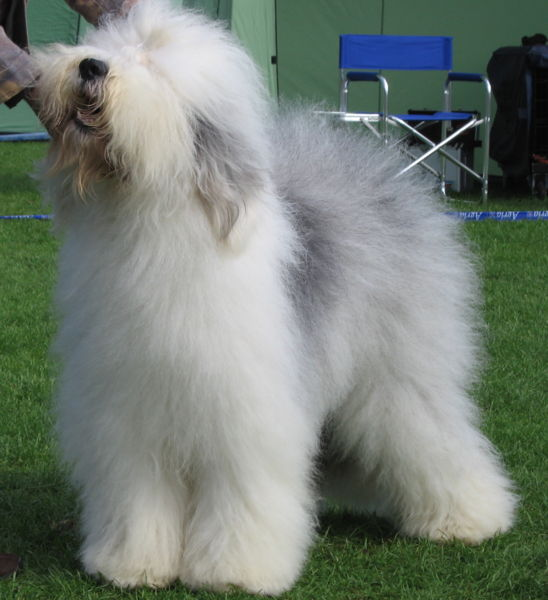 Old English Sheepdog - Pet WellbeingPet Wellbeing